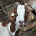 Goatscaping at Congressional Cemetery (Podcast 56):