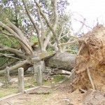 Trees downed by a tornado in Raleigh, North Carolina cause damage to historic grave markers in City Cemetery.  Courtesy: City of Raleigh Parks and Recreation Department.