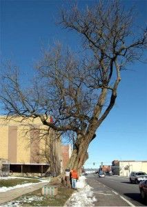 Osage orange tree after initial pruning to reduce lean.