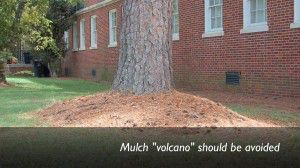 "A mulch ""volcano"" should be avoided."