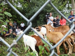 The Goats Were Not Expecting Such a Crowd of Reporters.