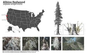 Fall 2011 coursework from Sharky's undergraduate class. 1. Distribution of albino redwoods in U.S. 2. Albino redwood fact sheet with illustration and labeled diagram 3. Picture of redwood needles, cone, part of bark Photo From: http://en.wikipedia.org/wiki/File:Albino_Redwoods_diagram.pdf