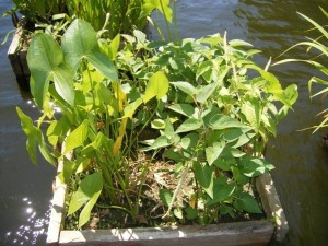 Aquatic plant boxes in water feature.