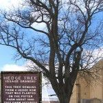 Historic osage-orange tree