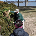Maintaining Historic Boxwood