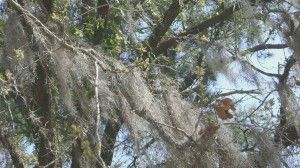 Spanish Moss in Tree