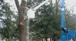 Tree removal should be performed by a certified arborist