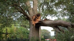 Damage to a mature tree.